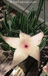 Stapelia gigantea, Zulu Giant, Carrion Plant   Click to see full-size image