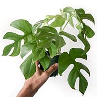 Rhaphidophora tetrasperma - Monstera Ginny, Mini Monstera  Click to see full-size image