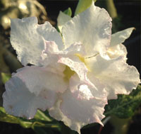 Adenium Frozen White Variegated, Grafted  Click to see full-size image