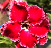 Adenium Million Star, Grafted  Click to see full-size image