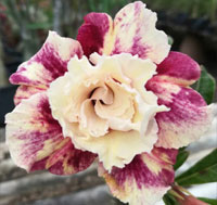 Adenium Purple Pink Star, Grafted  Click to see full-size image