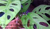 Monstera x adansonii Dwarf Cheese Plant (G10)  Click to see full-size image