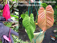 Anthurium allurioquinense Red Wine (G154)  Click to see full-size image