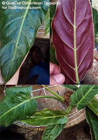 Philodendron subhastatum - Maroon Stopper (G196)  Click to see full-size image
