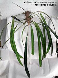 Anthurium pandurifolium Tiadora (G338)  Click to see full-size image