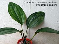 Anthurium ovatifolium - Exotic Anthurium (G35)  Click to see full-size image