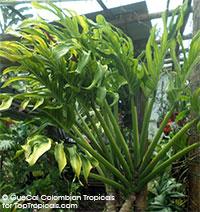 Monstera pinnatipartite - Nido Nodo (G4)  Click to see full-size image