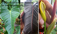 Philodendron discolor - Exotic Philodendron (G45)  Click to see full-size image