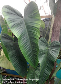 Philodendron sharroniae - Devils Triangle (G63)  Click to see full-size image