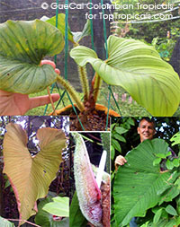 Philodendron squamicuale (serpens) - Awesome Pinkness (G67)  Click to see full-size image