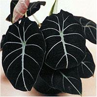 Alocasia reginula - Black   Velvet