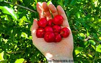 Malpighia glabra, Barbados Cherry, Acerola, Malphigia, Cerejeira  Click to see full-size image