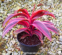 Cordyline x terminalis Electra  Click to see full-size image