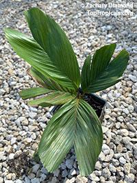 Iguanura wallichiana , Tronok  Click to see full-size image