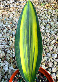 Sansevieria masoniana variegata - Giant Variegated Whale Tail  Click to see full-size image