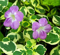 Asystasia variegata - Variegated Chinese Violet  Click to see full-size image