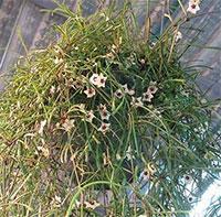 Hoya Retusa - Grass-leafed Hoya  Click to see full-size image