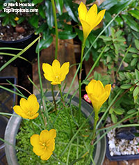 Zephyranthes sp., Fairy Lily, Zephyr Lily, Magic Lily, Atamasco Lily, Rain Lily  Click to see full-size image