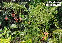 Hibiscus grandidieri x schizopetalus, Fairy Dancer  Click to see full-size image