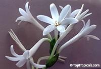 Agave amica, Polianthes tuberosa, Tuberose  Click to see full-size image