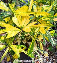 Codiaeum variegatum - Golden Arrowhead  Click to see full-size image
