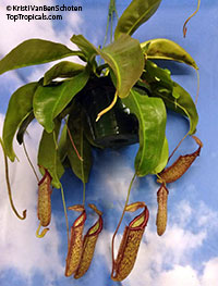 Nepenthes x Miranda - Giant Pitcher Plant  Click to see full-size image