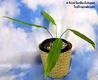 Anthurim pseudospectabile - Long Leaf Anthurium  Click to see full-size image