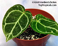 Anthurium crystallinum, Crystal anthurium, Tail Flower  Click to see full-size image