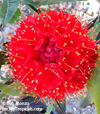 Brownea grandiceps - Scarlet Flame Bean  Click to see full-size image