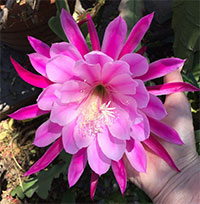 Epiphyllum x Flirty Pink  Click to see full-size image