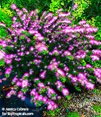 Calliandra selloi (brevipes) Pink Lilian  Click to see full-size image