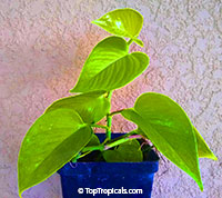 Philodendron cordatum Golden Heart, Lime Gold (Neon)  Click to see full-size image