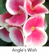 Euphorbia millii - Angels Wish  Click to see full-size image