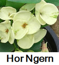 Euphorbia millii - Hor Ngern  Click to see full-size image