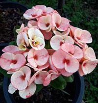 Euphorbia millii - Pon Chokchai  Click to see full-size image