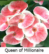 Euphorbia millii - Queen Millionaire  Click to see full-size image