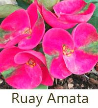 Euphorbia millii - Ruay Amata  Click to see full-size image
