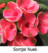 Euphorbia millii - Somjai Nuek  Click to see full-size image
