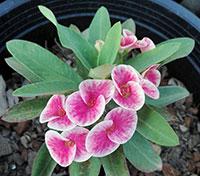 Euphorbia millii - Tephee Namchok  Click to see full-size image