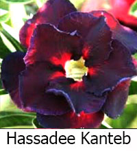 Adenium Hassadee Kanteb, Grafted  Click to see full-size image