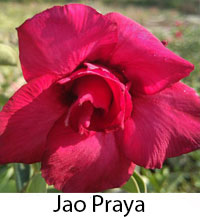 Adenium Jao Praya, Grafted  Click to see full-size image
