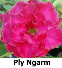 Adenium Ply Ngarm, Grafted  Click to see full-size image