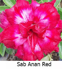 Adenium Sab Anan Red, Grafted  Click to see full-size image