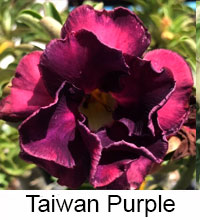 Adenium Taiwan Purple, Grafted  Click to see full-size image