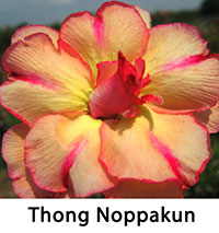 Adenium Thong Noppakun, Grafted  Click to see full-size image