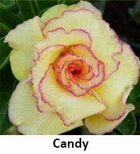 Adenium Candy, Grafted  Click to see full-size image