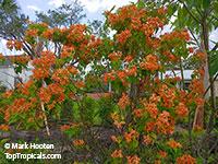 Mussaenda philippica x flava, Calcutta Sunset, Marmelade  Click to see full-size image