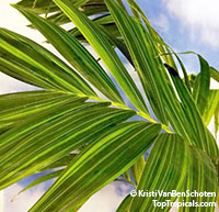 Adonidia merrillii, Veitchia merrilli, Christmas Palm  Click to see full-size image