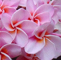 Plumeria Chompoo Orathai, grafted  Click to see full-size image