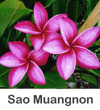 Plumeria Sao Muangnon, grafted  Click to see full-size image